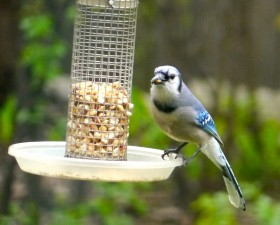 A Blue Jay Stops for a Snack