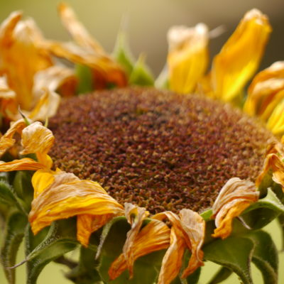 Sunflower at Summer's End